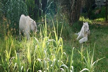 Tigres blancos al aire libre en Africam Safari