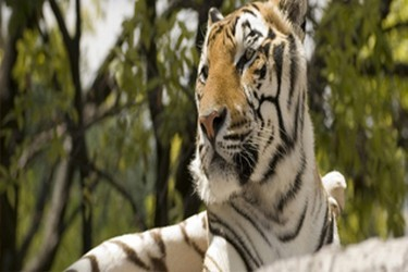 Des tigres blancs en plein air dans Africam Safari