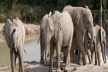 Troupeau déléphants à lextérieur dans Africam Safari