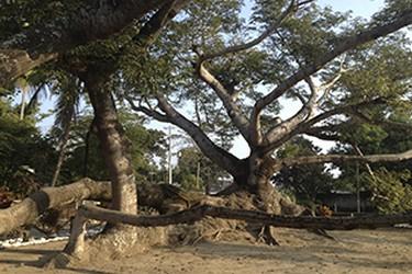 Árbol  La Ceiba  en Antigua, Veracruz