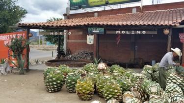 Agave del cual se elabora el mezcal en Oaxaca