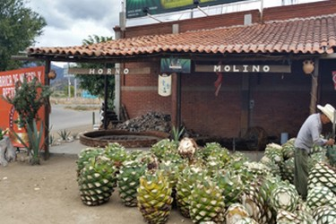 Agave from which mezcal is made in Oaxaca