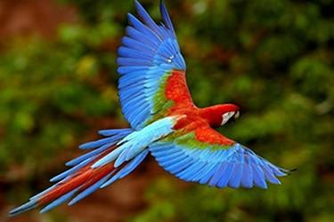 Guacamaya, ave multicolor de la selva Chiapaneca.