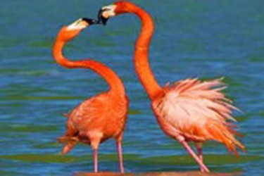 Birds of pink color