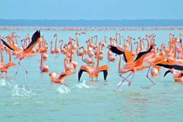 Observation of flamingos in the biosphere reserve in Celestun